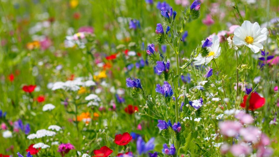 Blumenwiese Bienenweide